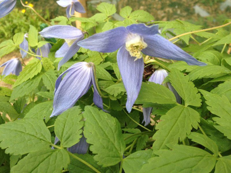 clematis alpina Columbine nice pair