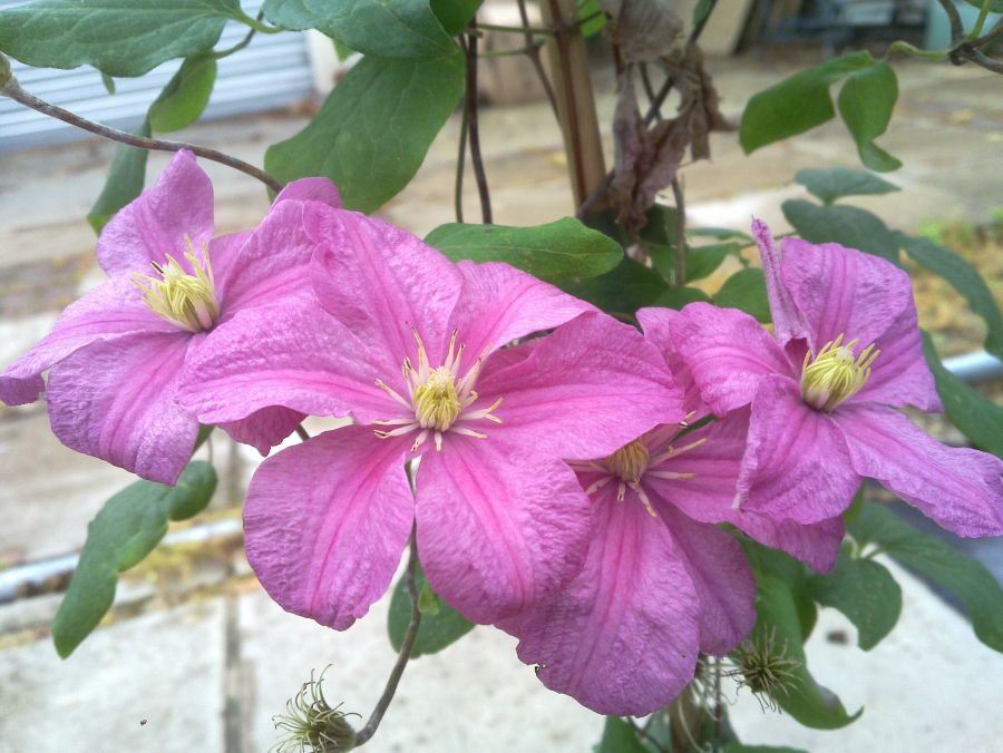 Clematis Comtesse de Bouchard group shot