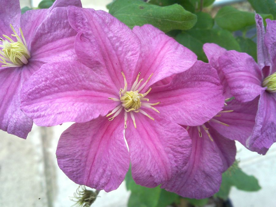 Clematis Comtesse de Bouchard close up