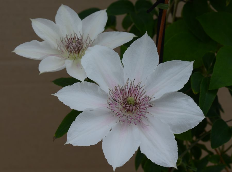 Clematis Corinne new for 2014