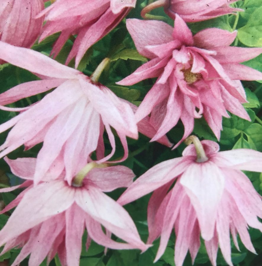 Clematis Country Rose lovely new pink macropetala