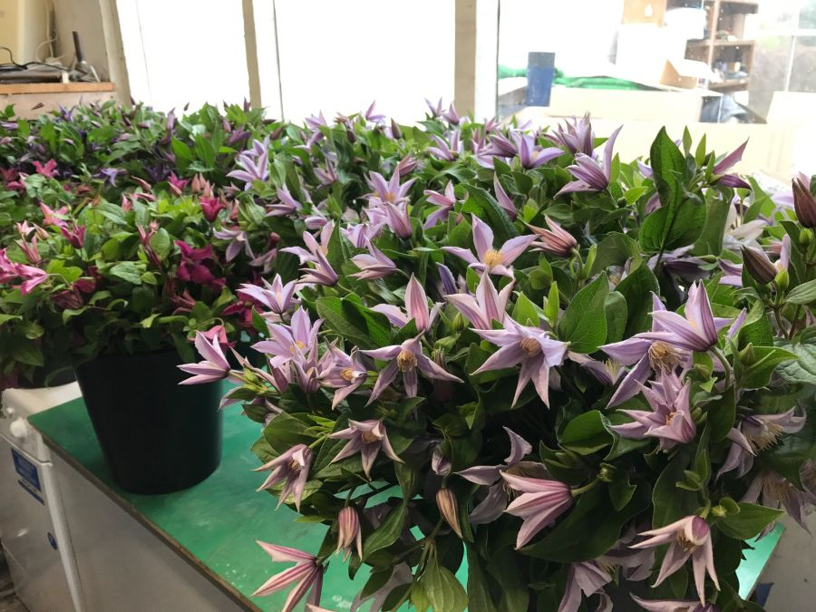 Preparing cut flower here clematis prior to displaying them