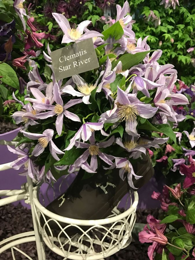 Cut flower clematis star river for Harrogate Wellie competition