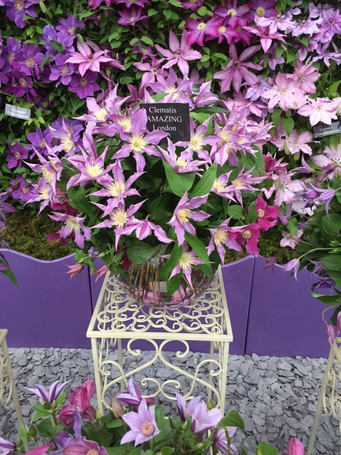 close up of a bowl of cut flower clematis amazing london