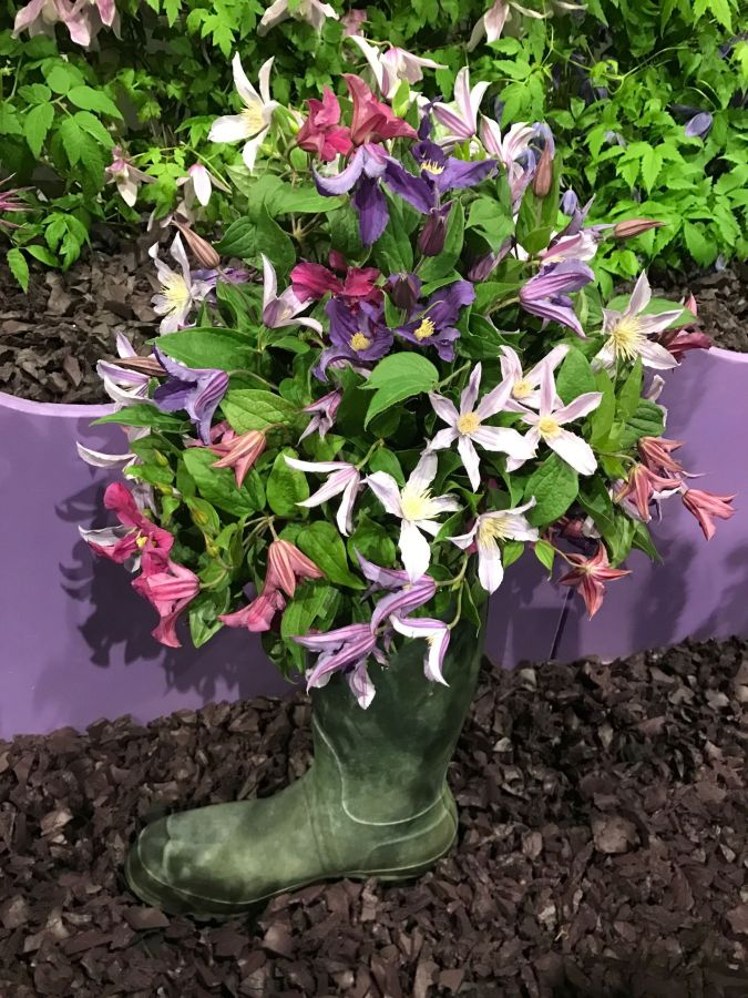 mixed Cut flower clematis for Harrogate Wellie competition