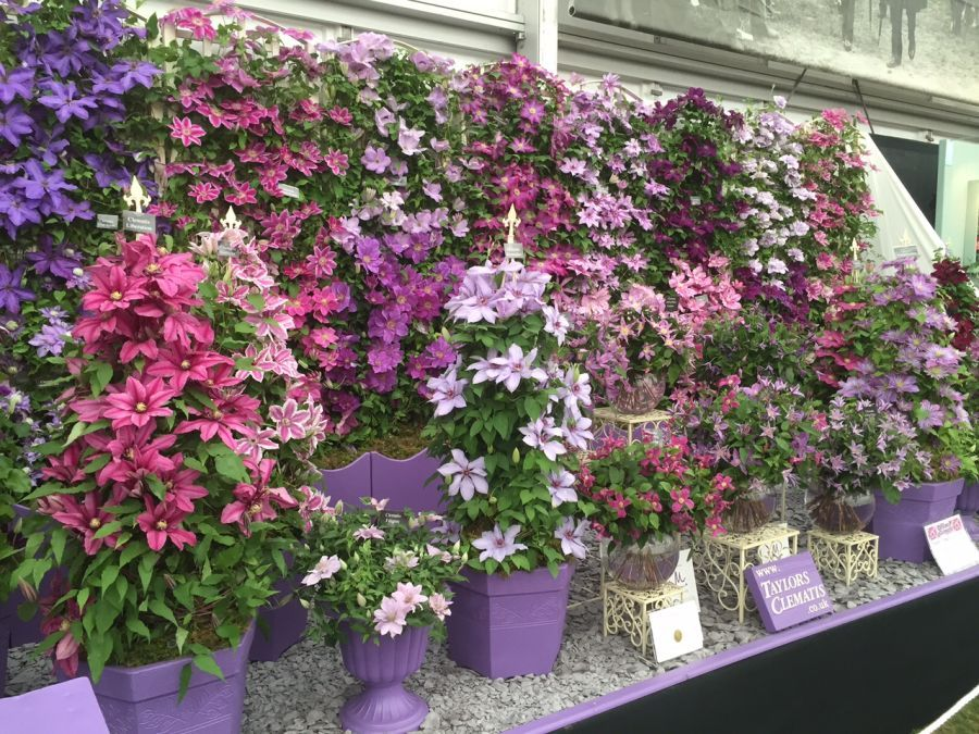 Our Gold medal display at Chelsea with Cut flower clematis