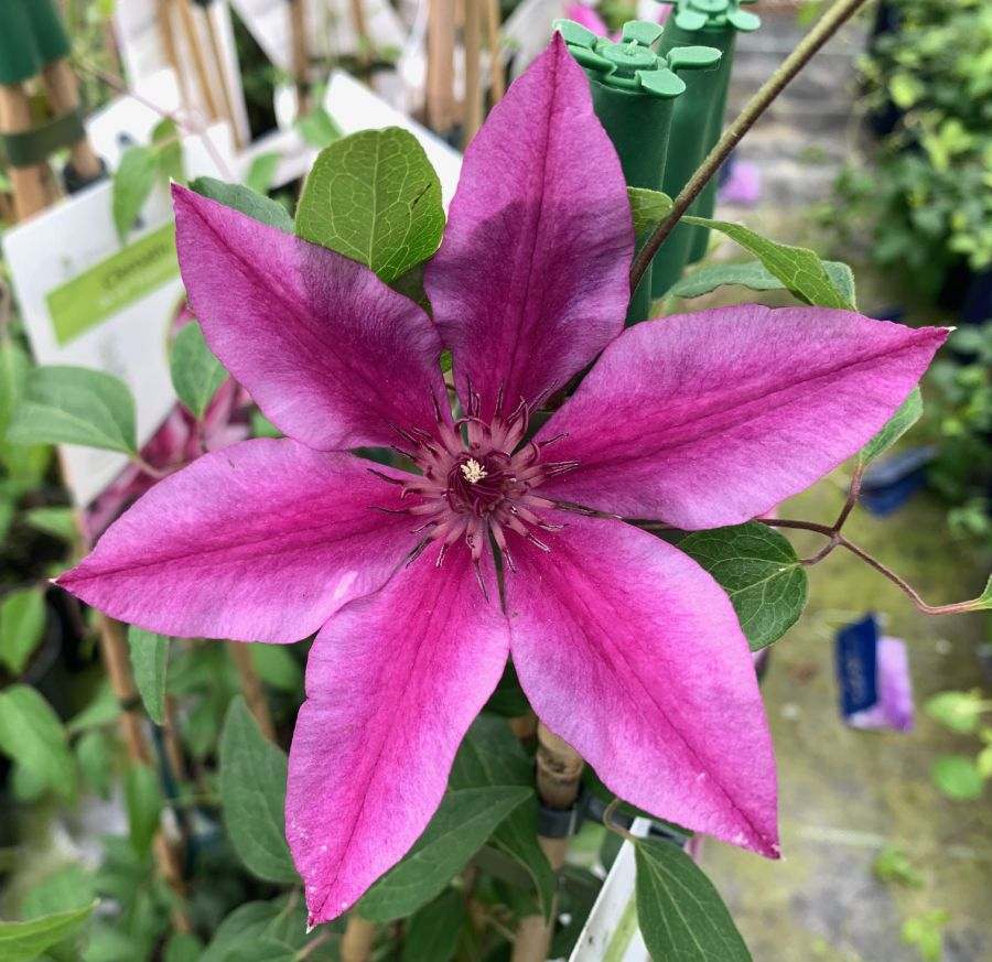 Clematis Darcy close up