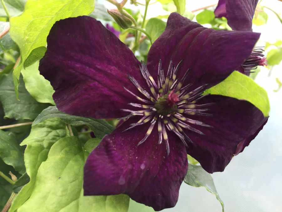Clematis Dark Eyes fully open close up
