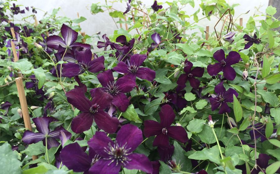 Clematis Dark Eyes mass group shot