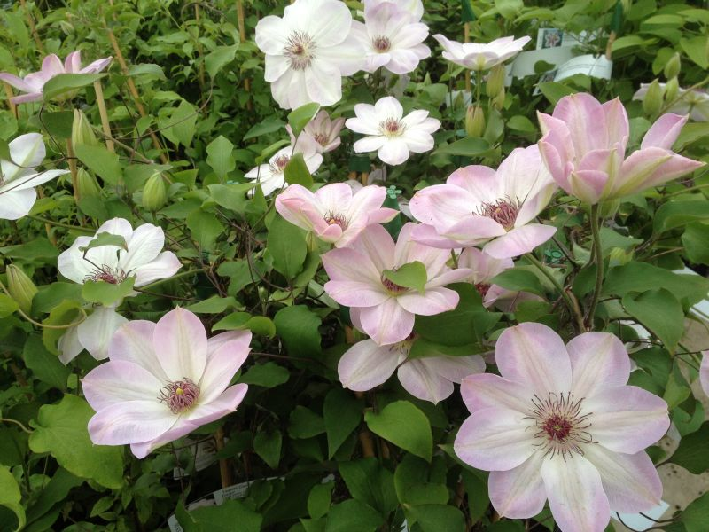 Clematis Dawn group shot