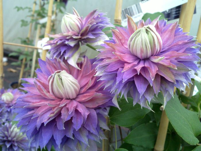 Clematis Diamantina nice 2 tone colours