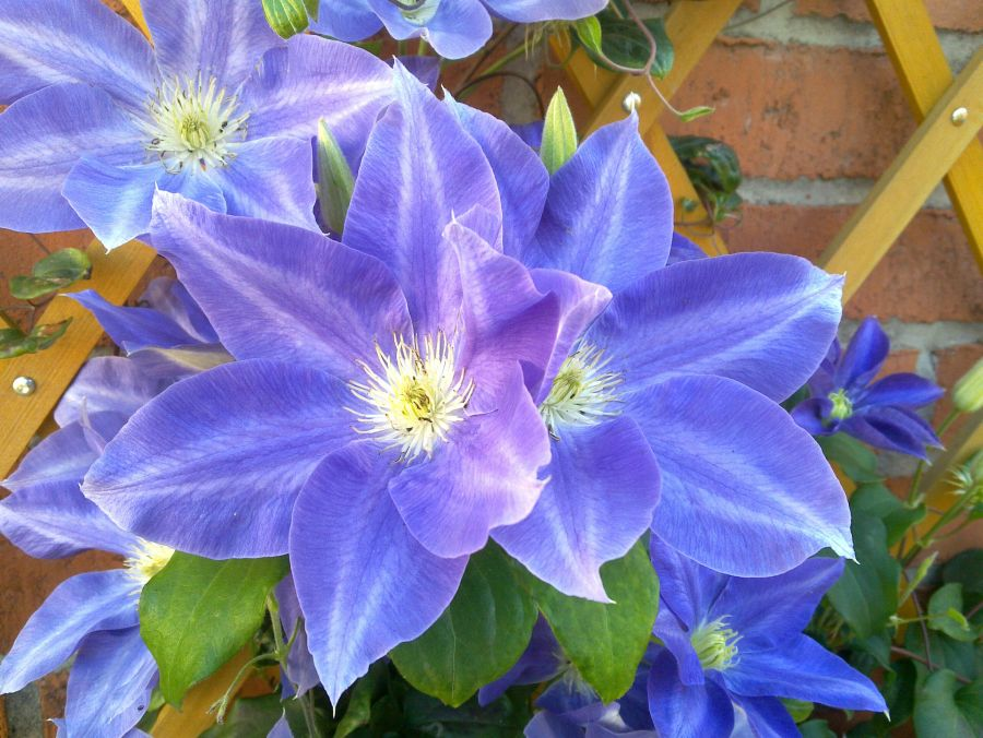 Clematis Diana's Delight close up nice strong colour
