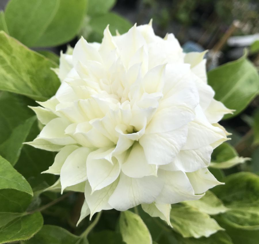 Clematis Duchess of Edinburgh full double form