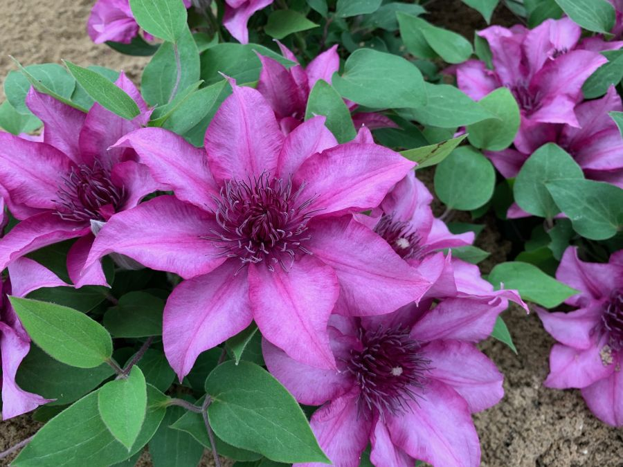 Clematis Elodi New for Chelsea 2019