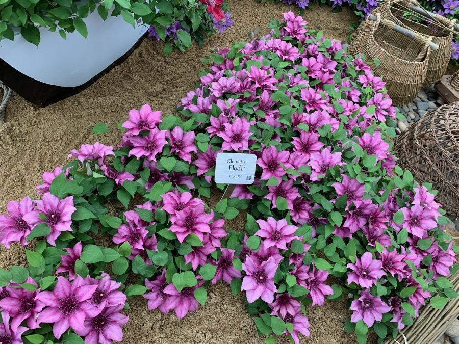 Clematis Elodi on the Chelsea display