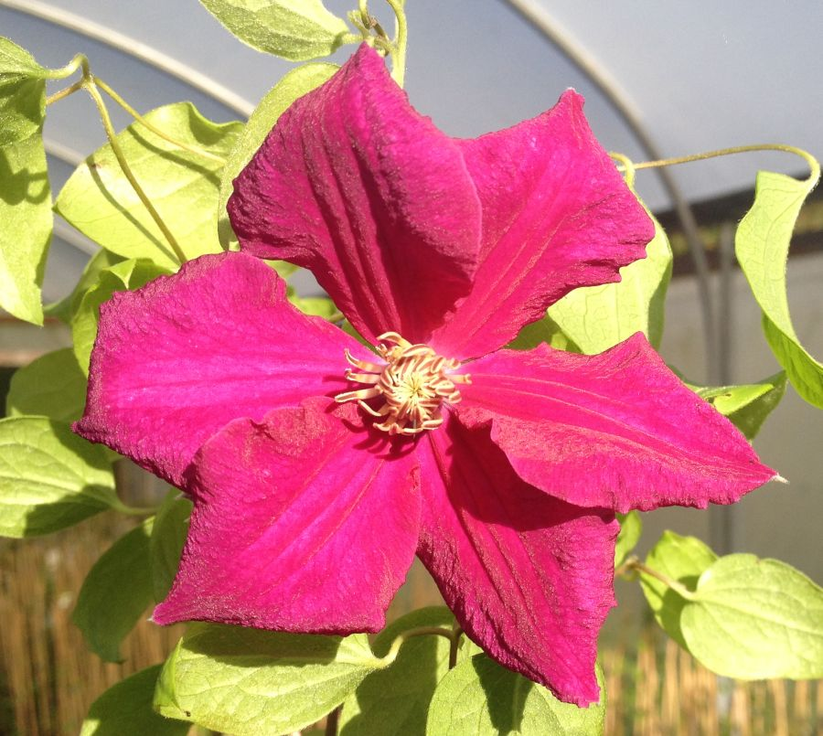 Clematis Ernest Markham fully open