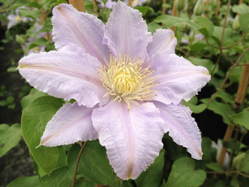 Clematis Esme fully open