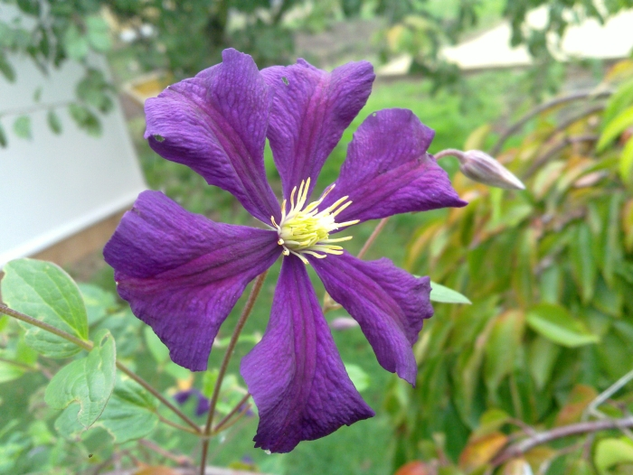 Clematis Etoile Violette nice single bloom