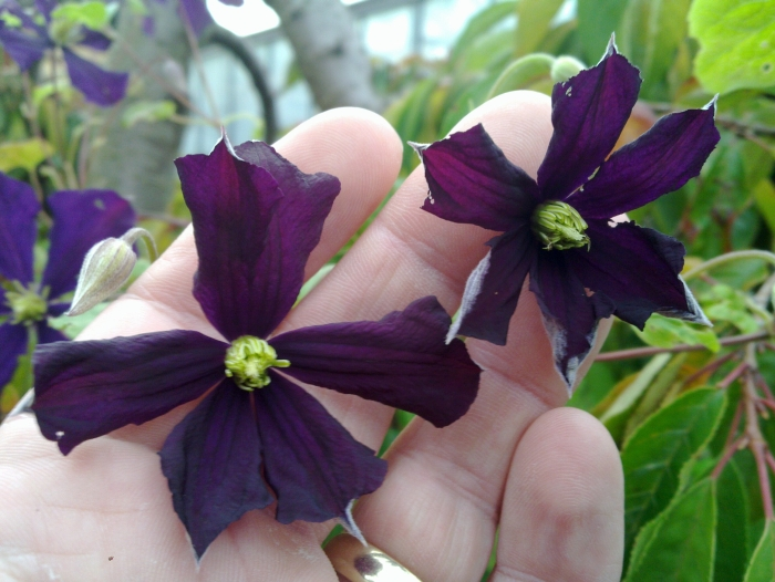 Clematis Etoile Violette buds just opening