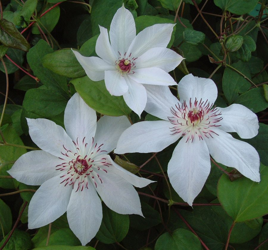 Clematis Fair Rosamond fully open