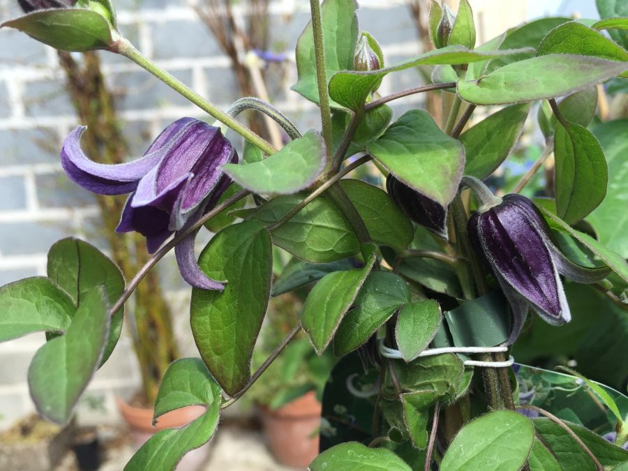 Clematis Fascination just opening