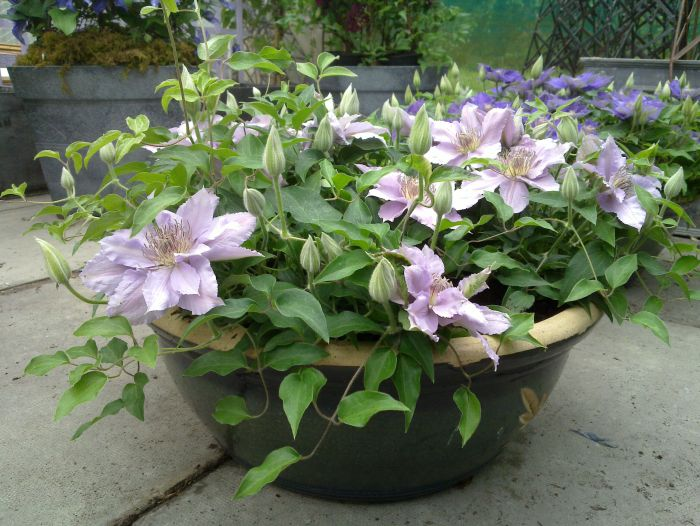 Clematis filigree goes nice in a small pot