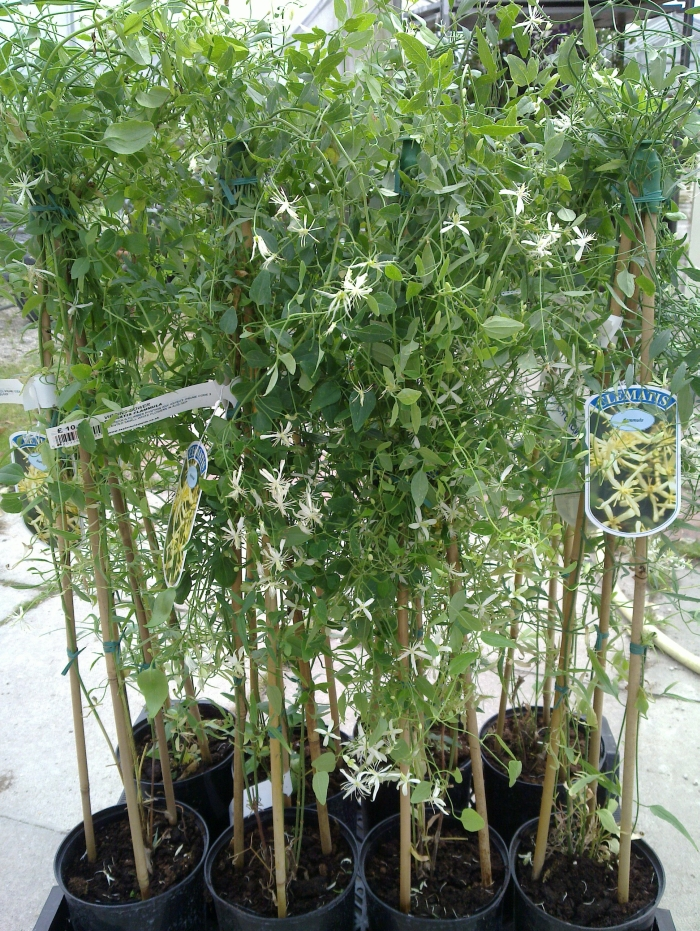 clematis flammula sales plants - nice fresh folaige