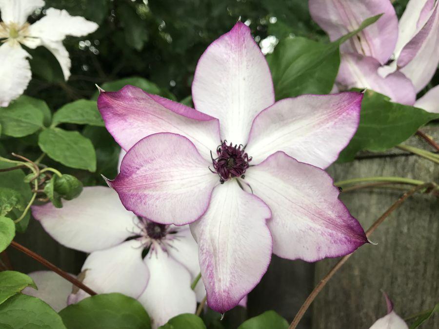 Clematis Fond Memories in our garden 1