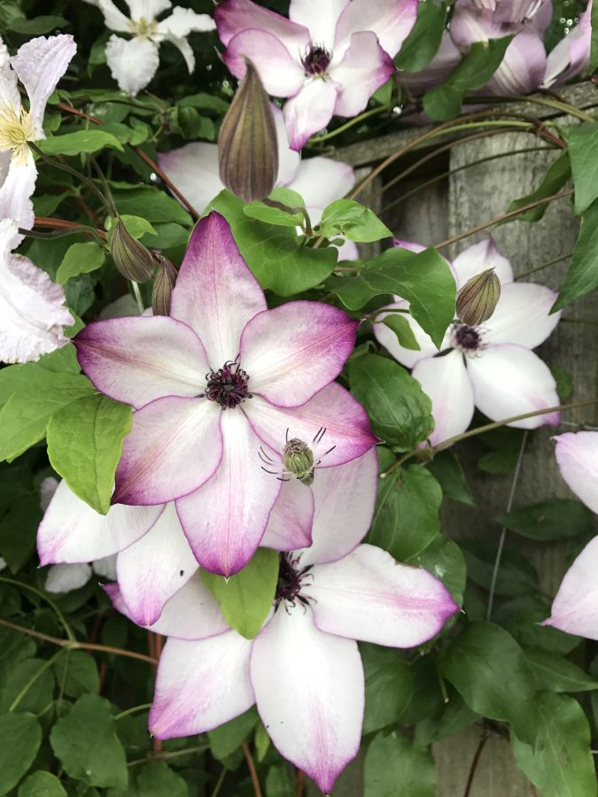 Clematis Fond Memories in our garden 2