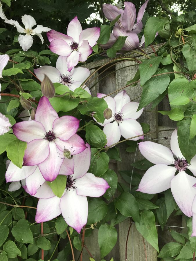 Clematis Fond Memories in our garden 3