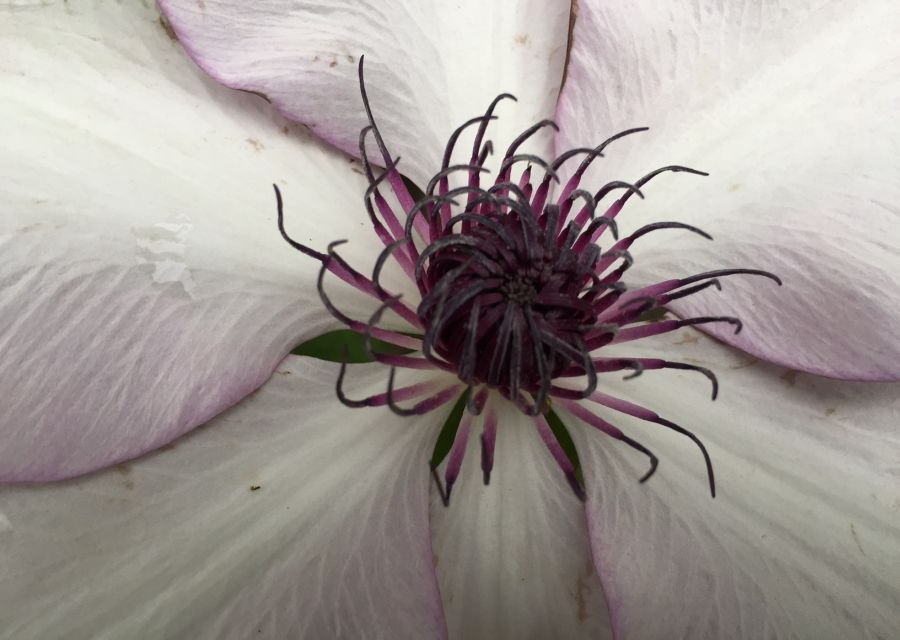 Clematis Fond Memories great staemens