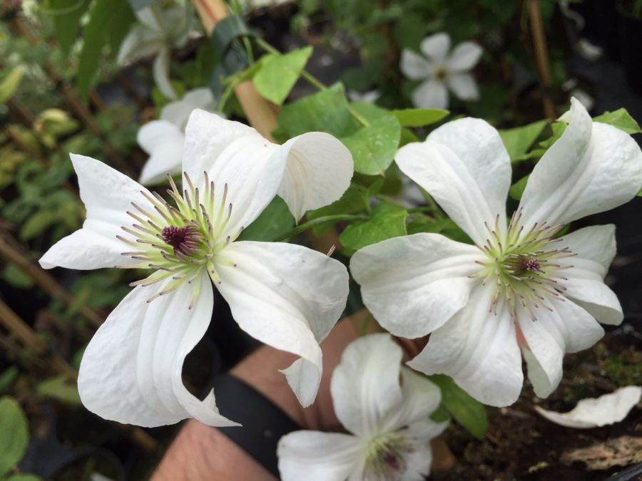 Clematis Forever Friends nice pair