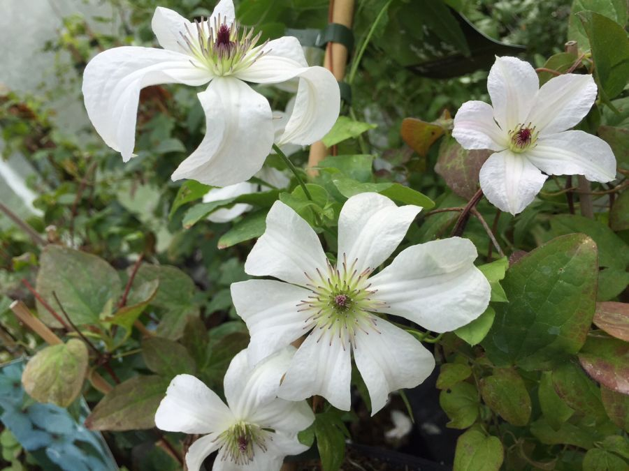 Clematis Forever Friends