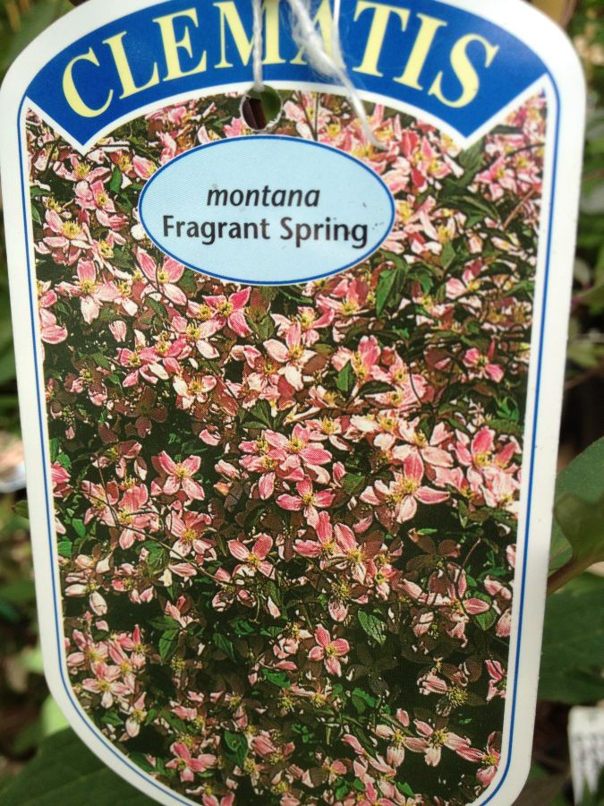 Clematis Montana Fragrant Spring, highly perfumed montana with great coverage capability!,