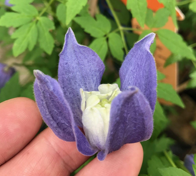 clematis alpina Francis Rivis underside