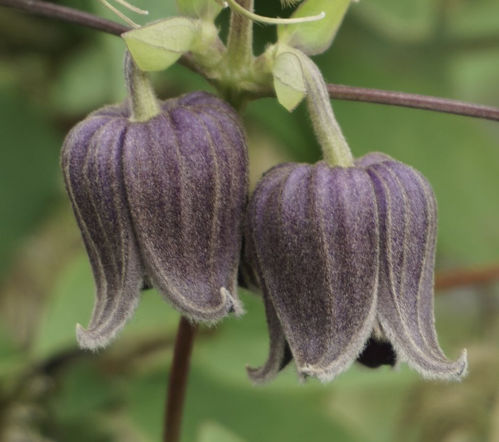 Clematis Fusca nice pair