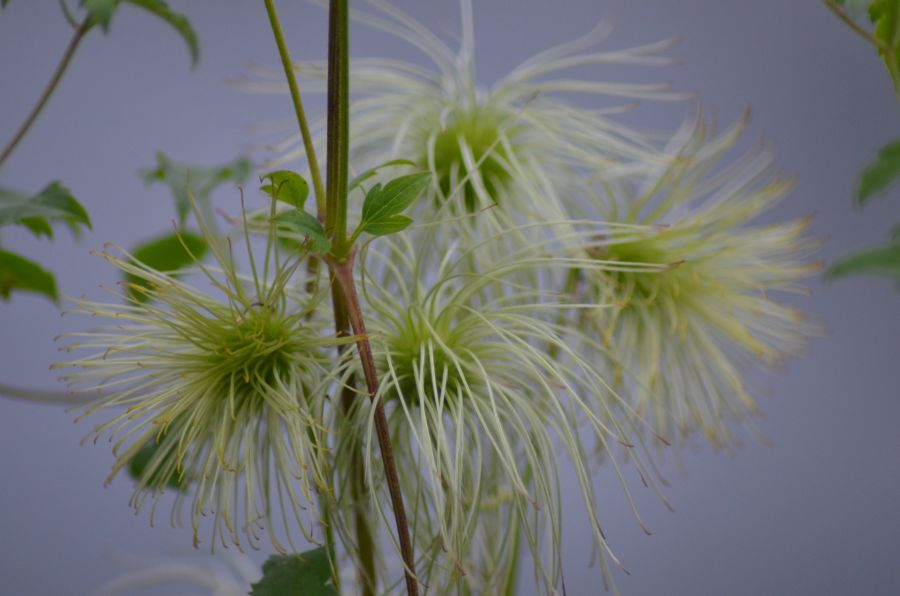 Golden Tiara seed heads mass shot