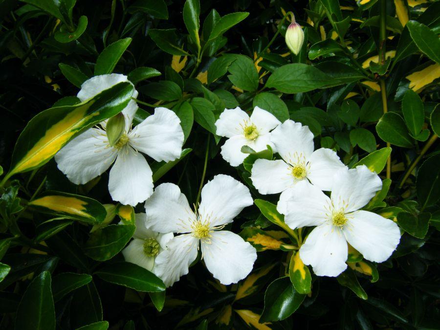 Clematis montana Grandiflora bunch