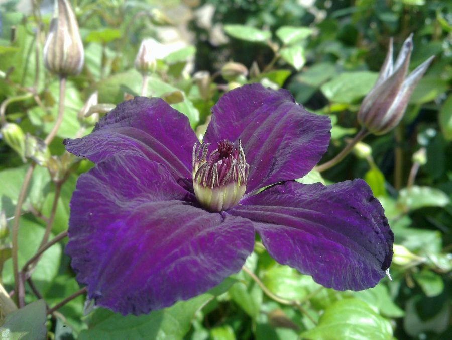 Clematis Happy Birthday nice rich colouring