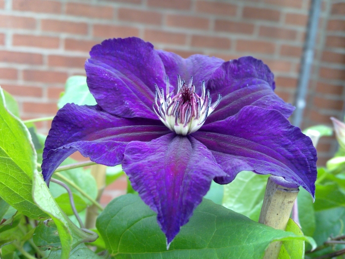 Clematis Happy Birthday plant Close Up