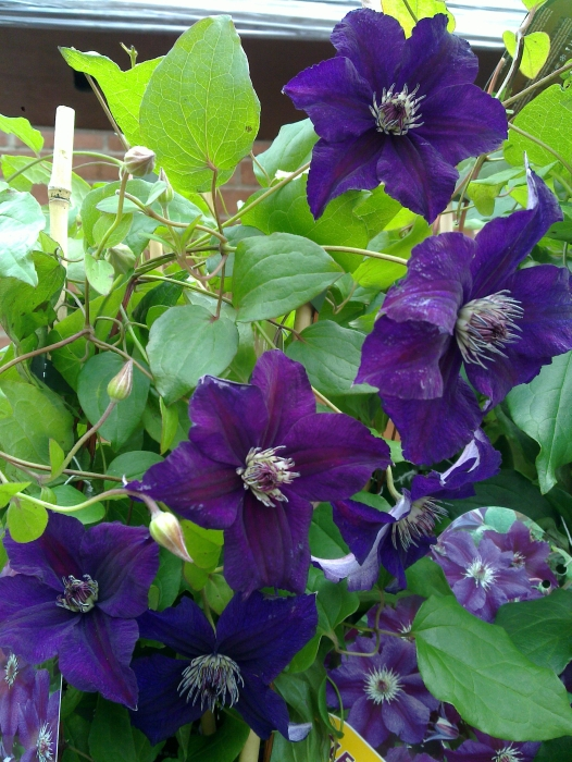 Clematis Happy Birthday Group Shot flowers just finishing