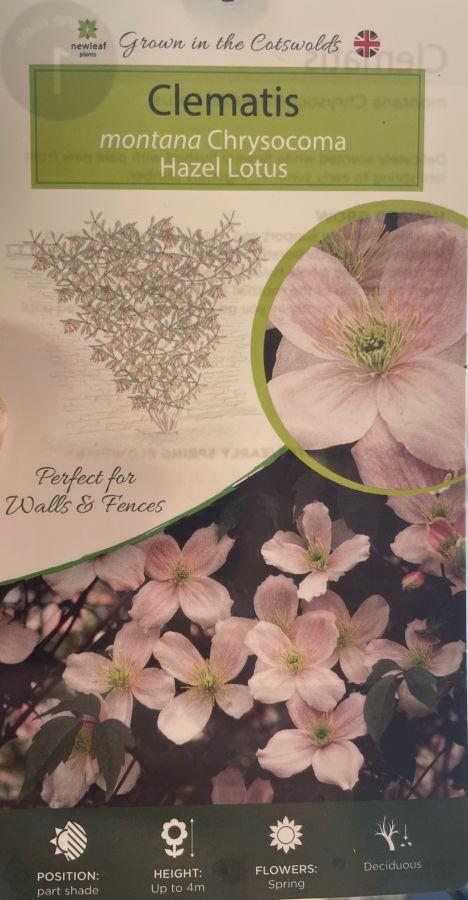 clematis montana hazel lotus
