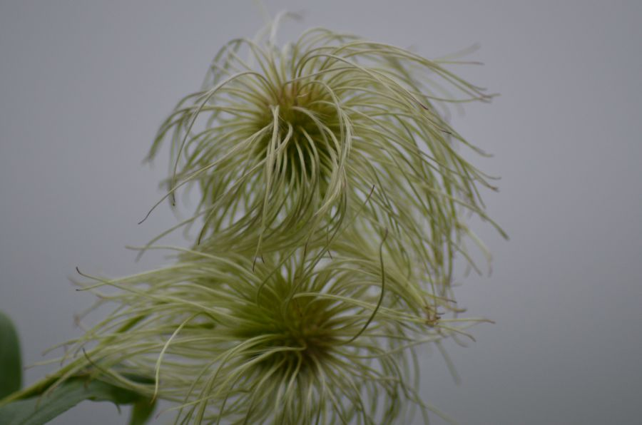 Clematis tangutica helios seed heads
