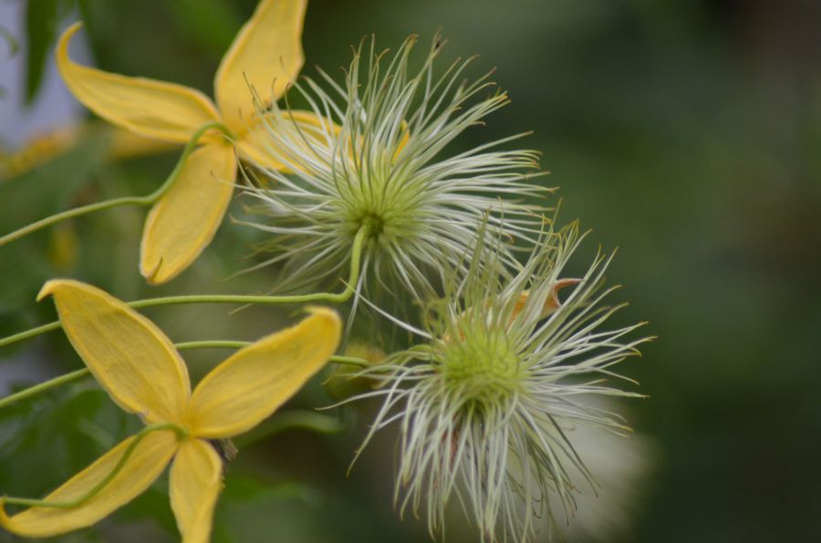 Clematis tangutica helios seed heads just starting