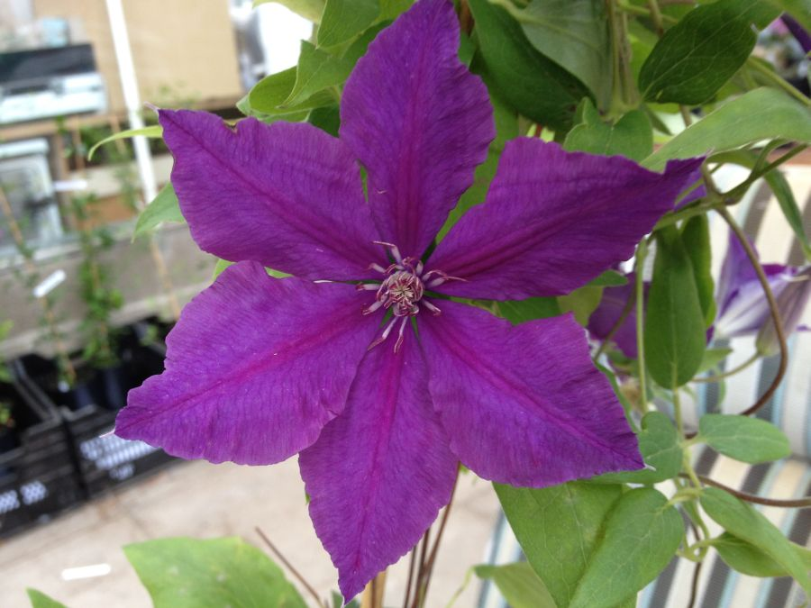 Clematis Honora close up