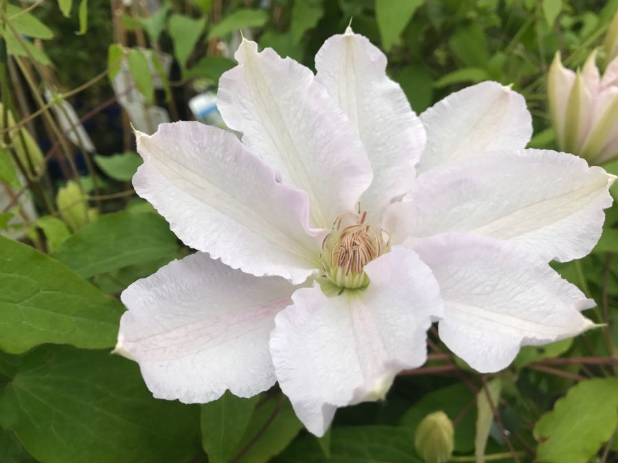 Clematis Hyde Hall just open