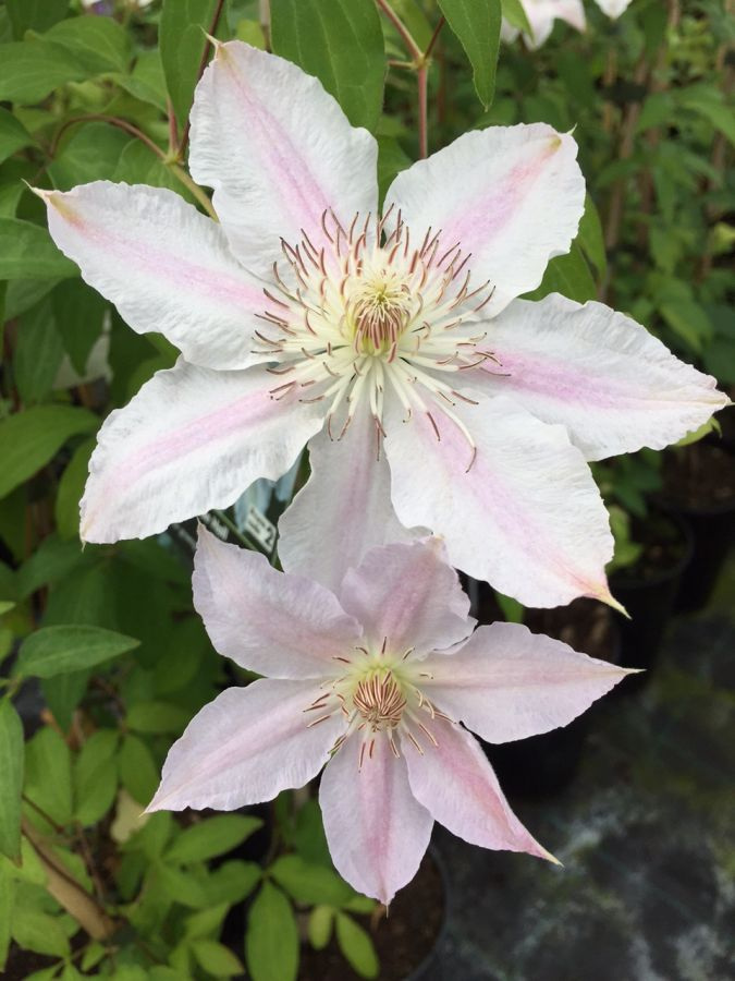 Clematis Hyde Hall nice pair