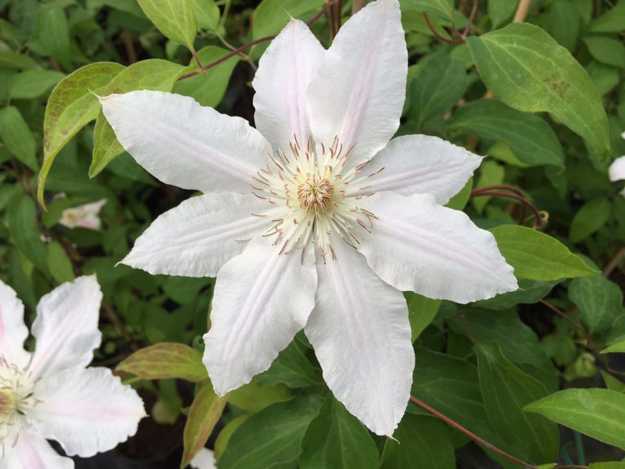 Clematis Hyde Hall fading to white