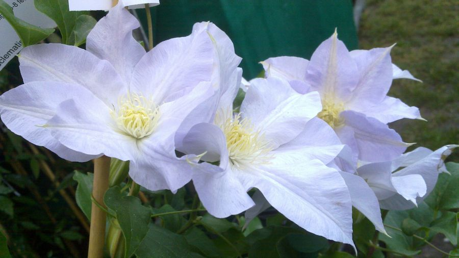 Clematis Ice blue up close group shot