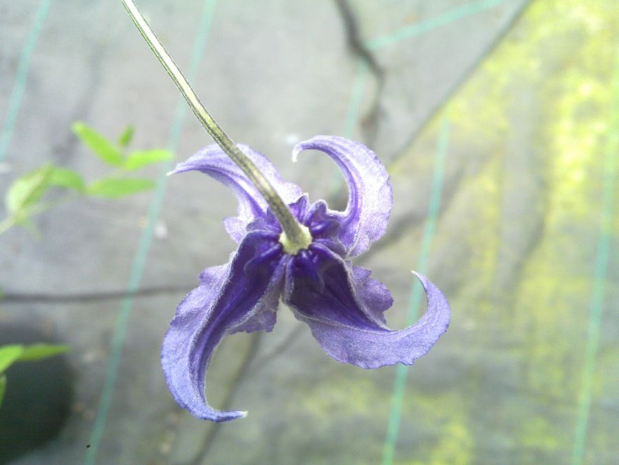 Clematis Integrifolia looking down to see the spiral